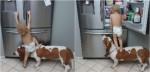 Cúmplices no assalto a geladeira: cão basset se oferece de apoio para bebê alcançar a porta e pegar comida; veja
