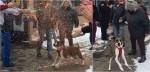 Cachorra adotada após 500 dias em abrigo recebe despedida emocionante; assista