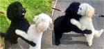 Irmãos poodles se reconhecem durante passeio, se abraçam espontaneamente e foto ganha 1 milhão de curtidas
