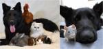 Vídeo: Em lar com diferentes pets, pastor alemão adora tirar soneca com ratinho que se aconchega em seu pelo