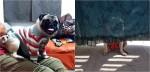 Cão pug adora se esconder só para família o procurar e acredita estar 100% camuflado em cortina transparente; vídeo