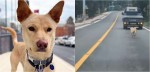 Cadela corre por quilômetros atrás de van que levava os seus filhotes para abrigo - confira