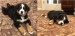 Dono de funerária adota cão da raça Bernese Mountain para confortar pessoas durante cerimônia fúnebre