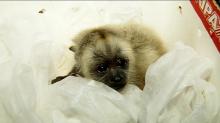A IGNORÂNCIA e CRUELDADE HUMANA não tem limite – Macacos estão sendo mortos por medo de febre amarela!