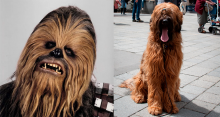 Conheça o cachorro que inspirou Chewbacca