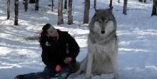 Lobo gigante senta perto de moça, assista o momento em que seus olhos se encontram.