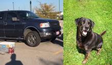 Cão pega caminhonete de seu dono para dar uma volta e causa o acidente mais adorável