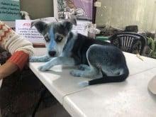 Filhote azul de cachorro aparece em clínica e surpreende a todos