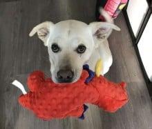 Cão fofinho traz brinquedo para todos que visitam sua casa