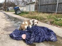 Cão abandonado por família no Réveillon se recusa a soltar seu cobertorzinho