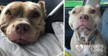 Pit bull adorável não para de sorrir após ser adotada
