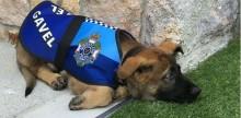 """Cão policial demitido por ser """"amigável demais"""" ganha novo emprego"""