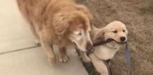 Cachorro ganha 'cão-guia' após perder os dois olhos