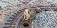 Rato fica preso em buraco de bueiro, mas é salvo por bombeiros