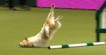 Durante prova de obstáculos canina, cão rouba a cena com rotina hilária, desastradamente (veja o vídeo)