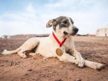 Cão chega ao final de maratona extremamente difícil no deserto e conquista a todos