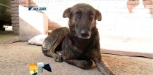 Cachorra percorre incríveis 160 km a pé em busca das pessoas que lhe demonstraram amor