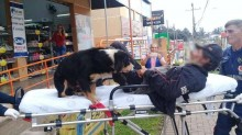 Cães correm 13 quadras até hospital após morador de rua, seu dono, ser levado por ambulância
