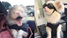Cão albino recebe óculos especiais para protegê-lo do sol
