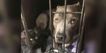 Pit bull convence sua mãe a adotar gatinho abandonado