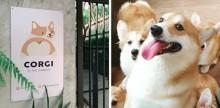 Mulher abre cafeteria recheada de cãezinhos Corgi e as fotos são adoráveis