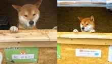 Cão comerciante cuida de barraca de batata e é super querido por clientes (veja o vídeo)
