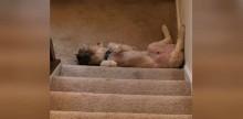 Cãozinho insiste em dormir sempre no lugar mais dramático possível