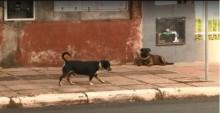 Cães de rua recebem coleiras com reflexo para evitar acidentes de trânsito em Xanxerê (SC)
