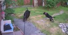Cachorro corajoso bota urso que invadia sua casa para correr - veja vídeo