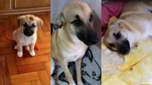 Cão Chico que viralizou após destruir quarto da dona é zueiro desde filhote - veja vídeo