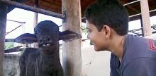 Menino de 13 anos adota filhote de búfala em MG: 'Posso dar carinho'