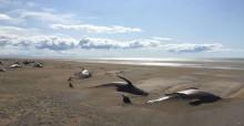 Cerca de 60 baleias são encontradas mortas em praia na Islândia