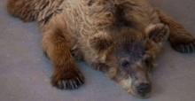 Ursa que havia sofrido por décadas por exploração, encontra a paz e falece em SP
