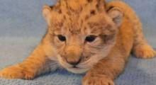 Rei Leão: conheça o filhote que serviu de modelo para criar Simba (veja o vídeo)