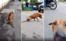Cãozinho danado finge ter a pata quebrada só para ganhar atenção e comida (veja o vídeo)