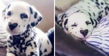 Este é Wiley, o dálmata com um coraçãozinho no nariz e muito amor pra dar