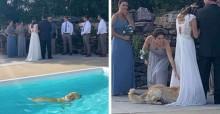Após nadar em meio a casamento dos donos, cachorro escolhe vestido da noiva para se secar
