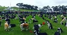 Pura fofura: juntaram 576 border collies no mesmo espaço para recorde mundial na Austrália
