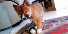 Não é cachorro, nem raposa, nem lobo: família adotou esse animal inusitado por engano