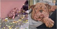 Covardemente abandonado, cão bulldog comia folhas para sobreviver (veja o vídeo)