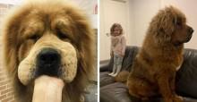 A internet está chocada com os mastins tibetanos, cães gigantescos populares na Ásia
