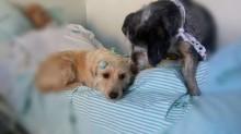Cachorros ficam do lado de hospital por semanas à espera de dono internado