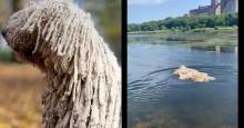 Cadelinha de raça exótica é confundida com vassoura gigante ao nadar em lago (veja o vídeo)