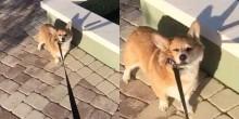 Cão corgi teimosinho se recusa a aceitar que parque está fechando (veja o vídeo)