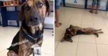 Cachorro 'faz estágio' em agência bancária e é adotado por gerente no RS
