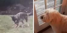 Cão fica indignado com coiote selvagem brincando com seus brinquedos em jardim (veja o vídeo)