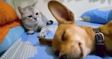 """Cão solta """"pum"""" barulhento enquanto dorme, gato se vinga e vídeo faz sucesso total (veja o vídeo)"""