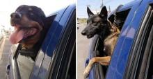 Cães rottweiller e pastor belga ganham 'aposentadoria' após uma década trabalhando com guardas em SP