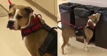 Pit bull retirado de rinha no Canadá ganha amor e 'cargo' especial nos Bombeiros (veja o vídeo)