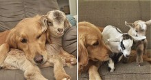 Mãe coruja: Cadela golden retriever acolhe amorosamente filhotes de cabras